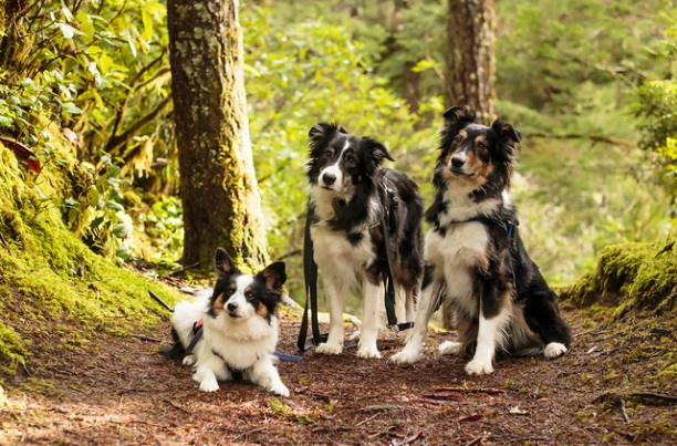 Nicolina, Ripp (Border Collie), Dash (rescue herding dog from New Mexico), and Flynn (Papillion-X)